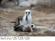 Купить «Peruvian bobby (Sula variegata) adult on nest with chick, begging for food, guano Island, Pescadores, Peru», фото № 25129120, снято 21 июля 2018 г. (c) Nature Picture Library / Фотобанк Лори