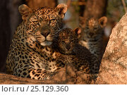 Купить «RF - Leopard (Panthera pardus) mother with cubs, Londolozi Private Game Reserve, Sabi Sands Game Reserve, South Africa.», фото № 25129360, снято 23 октября 2018 г. (c) Nature Picture Library / Фотобанк Лори