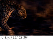 Купить «RF - Leopard (Panthera pardus) walking - blurred motion.  Londolozi Private Game Reserve, Sabi Sands Game Reserve, South Africa.», фото № 25129364, снято 23 марта 2019 г. (c) Nature Picture Library / Фотобанк Лори