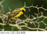 Купить «Spottedbacked weaver (Ploceus cucullatus) Londolozi Private Game Reserve, Sabi Sands Game Reserve, South Africa.», фото № 25129408, снято 27 марта 2019 г. (c) Nature Picture Library / Фотобанк Лори
