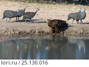 Купить «Helmeted guineafowl (Numida meleagris) and Tawny eagle», фото № 25130016, снято 23 октября 2019 г. (c) Nature Picture Library / Фотобанк Лори
