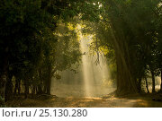 Купить «Early morning shafts of light through deciduous forest. Bandhavgarh National Park, India.», фото № 25130280, снято 28 мая 2018 г. (c) Nature Picture Library / Фотобанк Лори