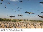 Wide angle view of Demoiselle cranes (Anthropoides virgo) landing in chugga ghar (bird feeding enclosure), Khichan, Western Rajasthan, India. December. Стоковое фото, фотограф Yashpal Rathore / Nature Picture Library / Фотобанк Лори