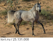 Купить «Grey Arabian stallion walking in desert dunes near Dubai, United Arab Emirates.», фото № 25131008, снято 16 августа 2018 г. (c) Nature Picture Library / Фотобанк Лори