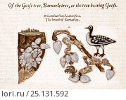 Купить «Illustration from John Gerard 'The Herball or General Historie of Plantes' 1597. This image shows the legend that geese were born from barnacles», фото № 25131592, снято 19 января 2018 г. (c) Nature Picture Library / Фотобанк Лори
