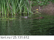 Купить «Eurasian beaver (Castor fiber) mother swimming and dragging a Willow sapling she has cut for her kits to feed on near their lodge, with one kit following...», фото № 25131612, снято 28 мая 2020 г. (c) Nature Picture Library / Фотобанк Лори
