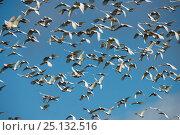 Huge flock of Sulphur-crested cockatoo eating  (Cacatua galerita)... Стоковое фото, фотограф Jurgen Freund / Nature Picture Library / Фотобанк Лори