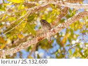 Купить «Finch in tree, Isla Santa Cruz, Galapagos, Ecuador, November.», фото № 25132600, снято 18 июня 2019 г. (c) Nature Picture Library / Фотобанк Лори