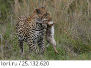 Купить «Leopard (Panthera pardus) with hare prey, Londolozi Private Game Reserve, Sabi Sands Game Reserve, South Africa.», фото № 25132620, снято 26 марта 2019 г. (c) Nature Picture Library / Фотобанк Лори