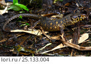Купить «Yellow-spotted night lizard (Lepidophyma flavimaculatum) captive, occurs in Central America.», фото № 25133004, снято 11 декабря 2019 г. (c) Nature Picture Library / Фотобанк Лори