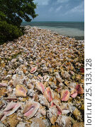 Купить «Queen conch (Strombus gigas) seashells harvested for their meat, Hat Caye, Lighthouse Reef Atoll, Belize.», фото № 25133128, снято 27 марта 2019 г. (c) Nature Picture Library / Фотобанк Лори