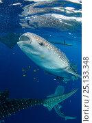 Купить «Whale sharks (Rhincodon typus) feeding at Bagan (floating fishing platform) Cenderawasih Bay, West Papua, Indonesia. Bagan fishermen see whale sharks as...», фото № 25133348, снято 26 марта 2019 г. (c) Nature Picture Library / Фотобанк Лори