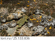 Купить «Natterjack toad (Epidalea calamita) walking across ground, Extremadura, Spain», фото № 25133836, снято 1 апреля 2020 г. (c) Nature Picture Library / Фотобанк Лори
