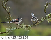 Купить «Long tailed tits (Aegithalos caudatus) on lichen covered branch, Sussex, UK December», фото № 25133956, снято 18 октября 2018 г. (c) Nature Picture Library / Фотобанк Лори