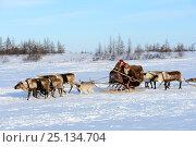 Купить «Nenet woman herds Reindeer (Rangifer tarandus) sleds across tundra with her dog. Yar-Sale district, Yamal, Northwest Siberia, Russia. April 2016.», фото № 25134704, снято 19 июля 2019 г. (c) Nature Picture Library / Фотобанк Лори