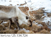 Купить «Reindeer grazing on lichen (Rangifer tarandus). Yar-Sale district, Yamal, Northwest Siberia, Russia. April.», фото № 25134724, снято 19 июля 2019 г. (c) Nature Picture Library / Фотобанк Лори