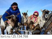 Купить «Nenet herders harnessing reindeers (Rangifer tarandus) to  sledge for spring migration. Yar-Sale district, Yamal, Northwest Siberia, Russia. April 2016.», фото № 25134768, снято 19 июля 2019 г. (c) Nature Picture Library / Фотобанк Лори