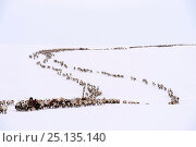 Купить «Nenet herders travel by Reindeer (Rangifer tarandus) sled on spring migration across tundra. Yar-Sale district, Yamal, Northwest Siberia, Russia. April 2016.», фото № 25135140, снято 19 июля 2019 г. (c) Nature Picture Library / Фотобанк Лори