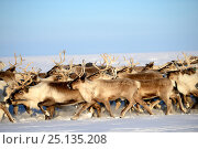 Купить «Reindeer (Rangifer tarandus) herd migrating in spring. Yar-Sale district, Yamal, Northwest Siberia, Russia. April.», фото № 25135208, снято 19 июля 2019 г. (c) Nature Picture Library / Фотобанк Лори