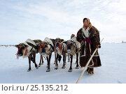 Купить «Ekaterina Yaptik, Nenet woman leading Reindeer (Rangifer tarandus) sleds on spring migration in tundra. Yar-Sale district, Yamal, Northwest Siberia, Russia. April 2016.», фото № 25135212, снято 19 июля 2019 г. (c) Nature Picture Library / Фотобанк Лори