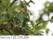 Купить «Siberian Chipmunk (Tamias sibiricus) introduced species, up in tree, near Paris, France September», фото № 25135268, снято 16 января 2019 г. (c) Nature Picture Library / Фотобанк Лори