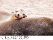 Купить «Head portrait of Galapagos sealion (Zalophus californianus wollebaeki) young resting on mother. San Cristobal, Galapagos. Ecuador, November. (This image...», фото № 25135300, снято 15 июля 2020 г. (c) Nature Picture Library / Фотобанк Лори