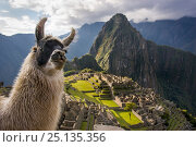 Llama (Lama glama) in front of Machu Picchu ruins, Andes, Peru, July... Стоковое фото, фотограф Will Burrard-Lucas / Nature Picture Library / Фотобанк Лори