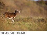 Купить «European mouflon (Ovis gmelini musimon) introduced species, Baie de Somme Nature Reserve, Picardie, France, April», фото № 25135828, снято 16 января 2019 г. (c) Nature Picture Library / Фотобанк Лори
