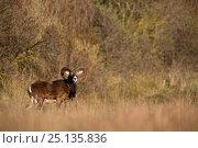 Купить «European mouflon (Ovis gmelini musimon) male ram profile, introduced species, Baie de Somme Nature Reserve, Picardie, France, April», фото № 25135836, снято 16 января 2019 г. (c) Nature Picture Library / Фотобанк Лори