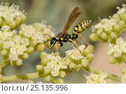 Купить «European paper wasp (Polistes dominula) foraging on Rock samphire / Sea fennel (Crithmum maritimum) flowering on a sandy beach, Algarve, Portugal, August 2013.», фото № 25135996, снято 23 апреля 2019 г. (c) Nature Picture Library / Фотобанк Лори