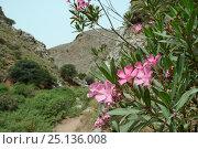 Купить «Oleander bushes (Nerium oleander) flowering in Zakros gorge, Sitia Nature Park, Lasithi, Crete, Greece, May 2013.», фото № 25136008, снято 22 июля 2018 г. (c) Nature Picture Library / Фотобанк Лори