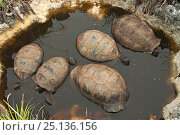 Aldabra Giant Tortoises (Aldabrachelys gigantea) resting in a pool to keep cool, Grand Terre, Natural World Heritage Site, Aldabra. Стоковое фото, фотограф Willem Kolvoort / Nature Picture Library / Фотобанк Лори