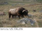 Купить «Aubrac bull, Nasbinals, Aubrac, Languedoc, France, September.», фото № 25136216, снято 17 августа 2018 г. (c) Nature Picture Library / Фотобанк Лори