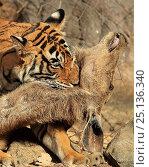 Купить «Bengal tiger (Panthera tigris tigris) female 'Noor T19' killing Sambar deer (Rusa unicolor) by strangulation. Ranthambhore, India.», фото № 25136340, снято 28 мая 2020 г. (c) Nature Picture Library / Фотобанк Лори