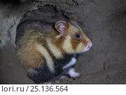 Купить «European hamster (Cricetus cricetus), in underground burrow, captive.», фото № 25136564, снято 19 августа 2018 г. (c) Nature Picture Library / Фотобанк Лори