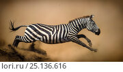 Купить «Zebra (Equus quagga) leaping during stampede, Serengeti, Tanzania. Vignette added and right edge expanded.», фото № 25136616, снято 26 апреля 2018 г. (c) Nature Picture Library / Фотобанк Лори