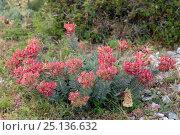 Купить «Broad-leaved Glaucous Spurge / Myrtle spurge (Euphorbia myrsinites) flowering on limestone mountain top, Mount Olympus, Lesbos, Greece, May 2013.», фото № 25136632, снято 20 января 2018 г. (c) Nature Picture Library / Фотобанк Лори