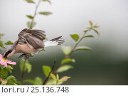 Купить «Red-backed shrike (Lanius collurio) adult male taking off,  Lower Saxony, Germany, June. Sequence 3 of 3», фото № 25136748, снято 18 октября 2019 г. (c) Nature Picture Library / Фотобанк Лори