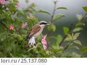 Купить «Red-backed shrike (Lanius collurio) adult male, with insect prey in its beak,  Lower Saxony, Germany, June.», фото № 25137080, снято 18 октября 2019 г. (c) Nature Picture Library / Фотобанк Лори
