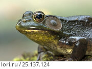 Купить «Green frog (Lithobates / Rana clamitans) New York, USA», фото № 25137124, снято 26 мая 2019 г. (c) Nature Picture Library / Фотобанк Лори