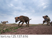 Купить «Spotted hyenas (Crocuta crocuta) approaching remote camera with curiosity, wide angle perspective. Maasai Mara National Reserve, Kenya.», фото № 25137616, снято 10 июля 2020 г. (c) Nature Picture Library / Фотобанк Лори