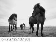Купить «Icelandic horses, near Hofn, Iceland, June.», фото № 25137808, снято 16 августа 2018 г. (c) Nature Picture Library / Фотобанк Лори