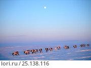 Купить «Reindeer (Rangifer tarandus) herd migrating in spring at dusk under moon. Yar-Sale district, Yamal, Northwest Siberia, Russia. April.», фото № 25138116, снято 19 июля 2019 г. (c) Nature Picture Library / Фотобанк Лори
