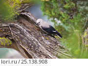 Clark's nutcracker (Nucifraga columbiana) juvenile in pine tree, Lamar Valley, Yellowstone National Park, Wyoming, USA, June. Стоковое фото, фотограф MIKE READ / Nature Picture Library / Фотобанк Лори