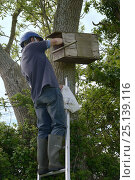 Купить «Graham Guest at the top of a ladder checking a nestbox for Kestrel chicks (Falco tinnunculus) during a survey for the Hawk and Owl Trust's Kestrel Highways...», фото № 25139116, снято 15 октября 2018 г. (c) Nature Picture Library / Фотобанк Лори