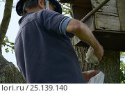Купить «Graham Guest at the top of a ladder removing a Kestrel chick (Falco tinnunculus) from a nestbox for ringing and measuring during a survey for the Hawk...», фото № 25139140, снято 15 октября 2018 г. (c) Nature Picture Library / Фотобанк Лори
