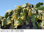 Купить «Prickly pear cactus / Barbary fig (Opuntia ficus-indica) with ripening fruits, Patmos, Dodecanese, Greece, August 2013.», фото № 25139580, снято 25 сентября 2018 г. (c) Nature Picture Library / Фотобанк Лори