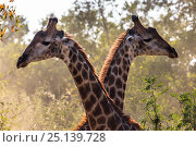 Купить «Reticulated giraffes (Giraffa camelopardalis) two males fighting in the bush, South Africa.», фото № 25139728, снято 17 июля 2018 г. (c) Nature Picture Library / Фотобанк Лори
