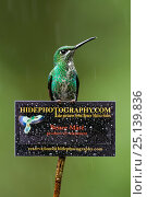 Green-crowned brilliant hummingbird (Heliodoxa jacula) on sign for Bence Mate's HidePhotography.com, which rents out hides for wildlife photography. Costa Rica. Стоковое фото, фотограф Bence Mate / Nature Picture Library / Фотобанк Лори