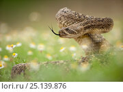 Купить «Western diamond-backed rattlesnake (Crotalus atrox) Texas, USA, April.», фото № 25139876, снято 22 октября 2018 г. (c) Nature Picture Library / Фотобанк Лори